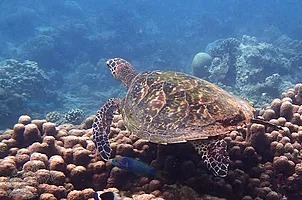 a turtle underneath the Indian Ocean by Wasini Island